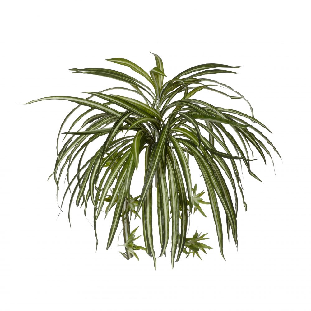 SPIDER PLANT 50CM 180 LEAVES